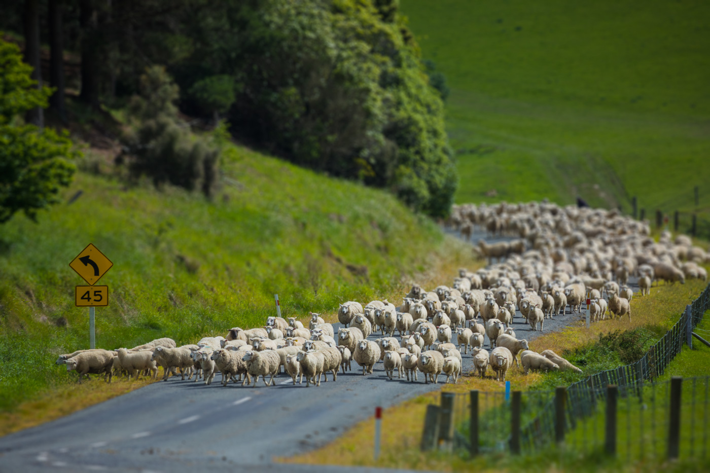 Speaking of 30 million sheep, share the road